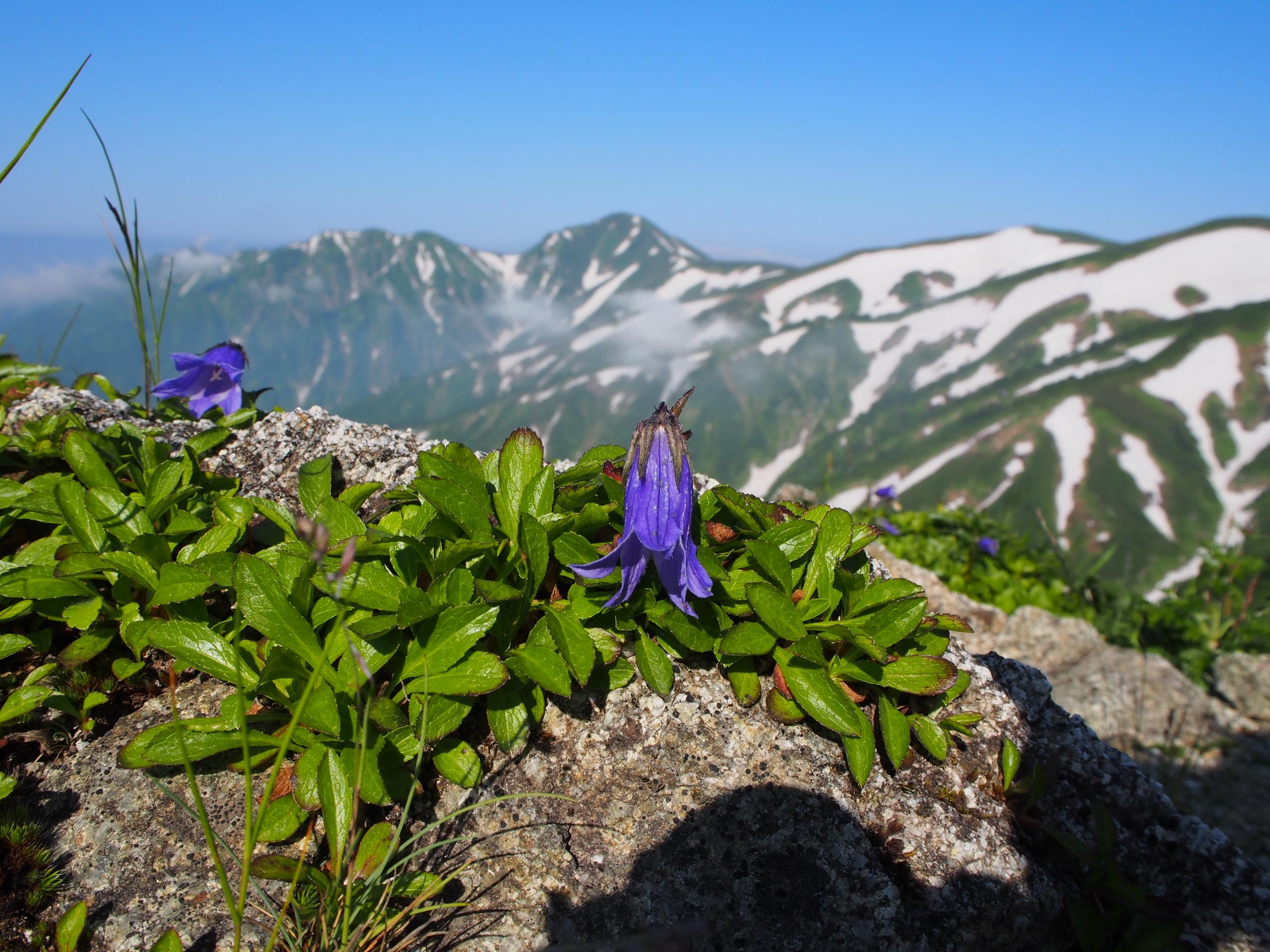 飯豊山の花たち