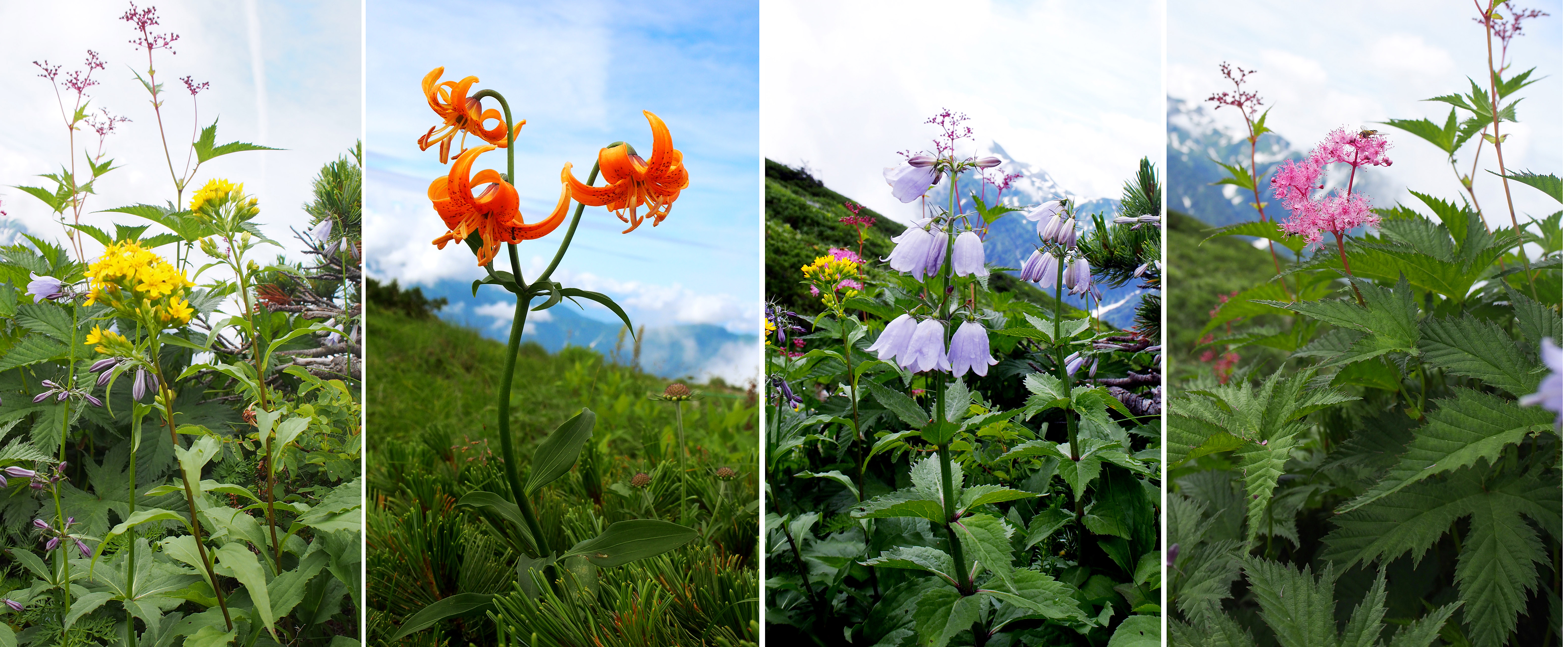 朝日岳の花