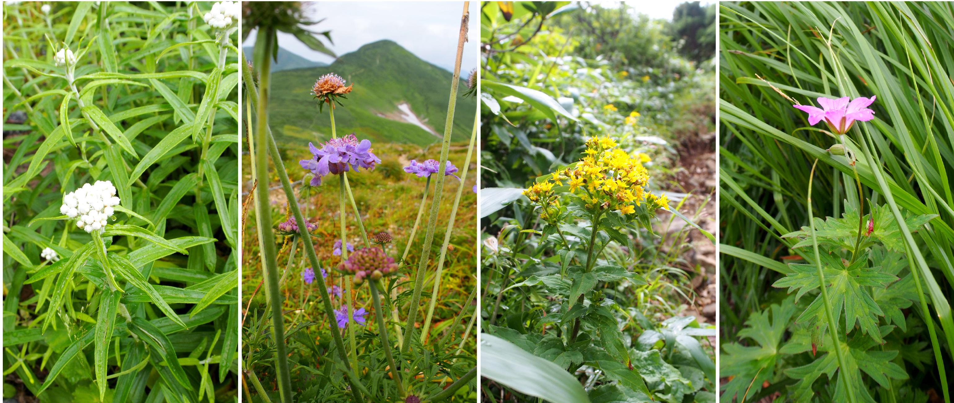 大朝日岳の花たち