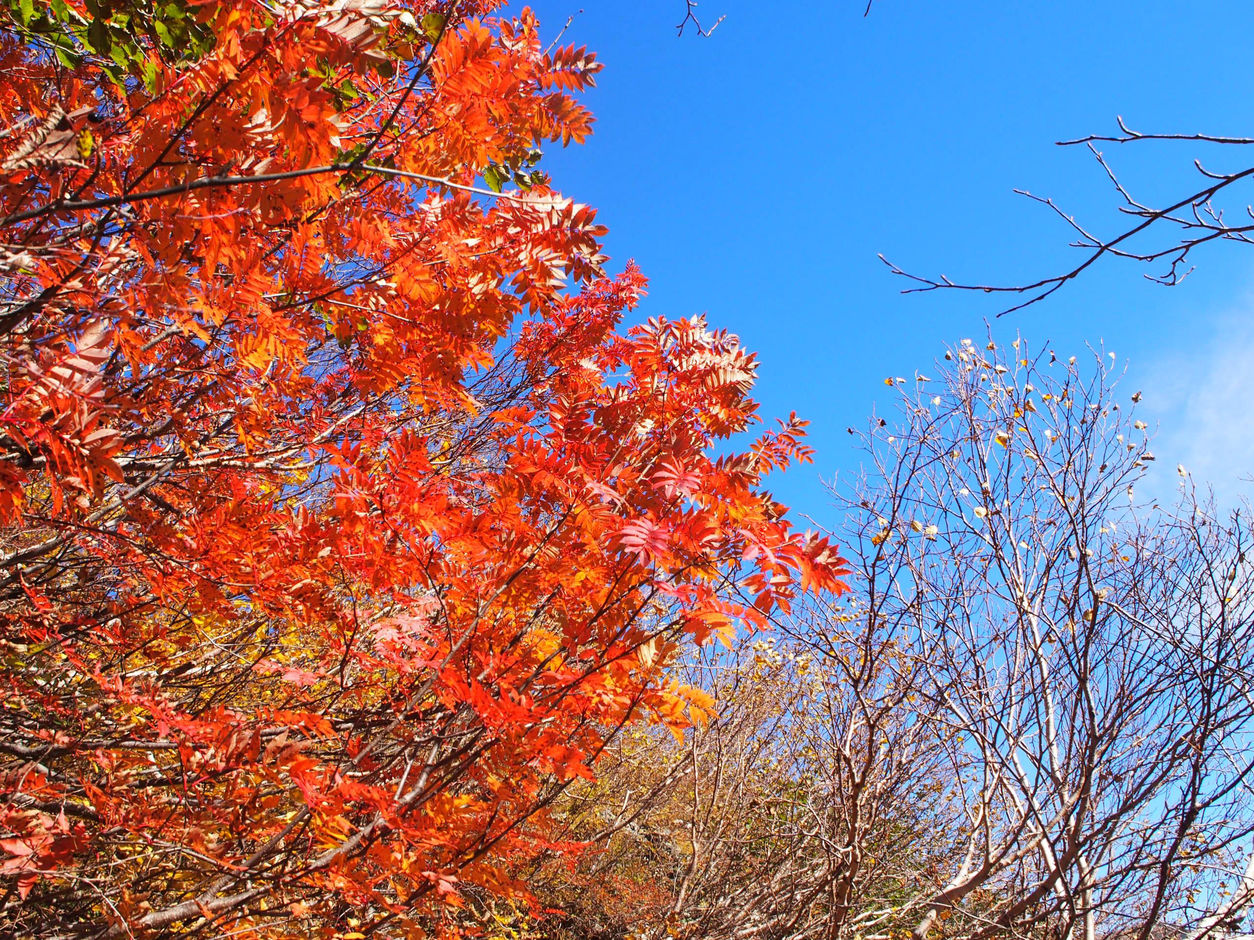 紅葉の針ノ木岳