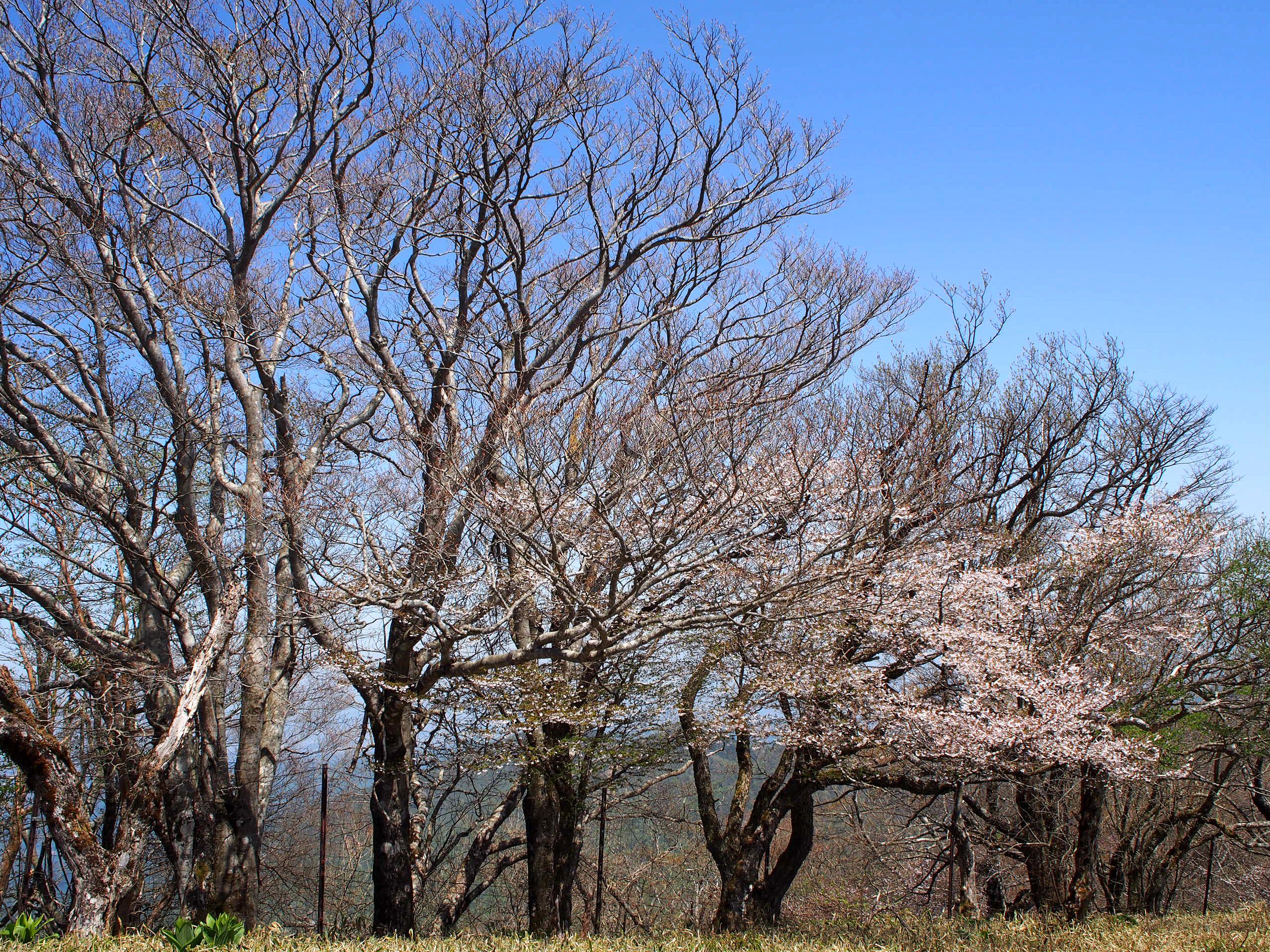 山桜がキレイに咲いてました☆